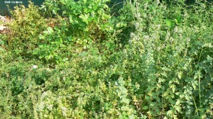 image of herbs including thyme, savory and oregano