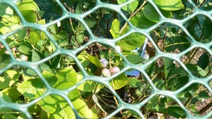 ripe and unripe blueberries behind plastic netting